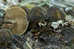 Skygge-skrmhat (Pluteus umbrosus)